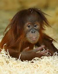 Silvestre orangutan Monkey World Content Writing My Words Work For You