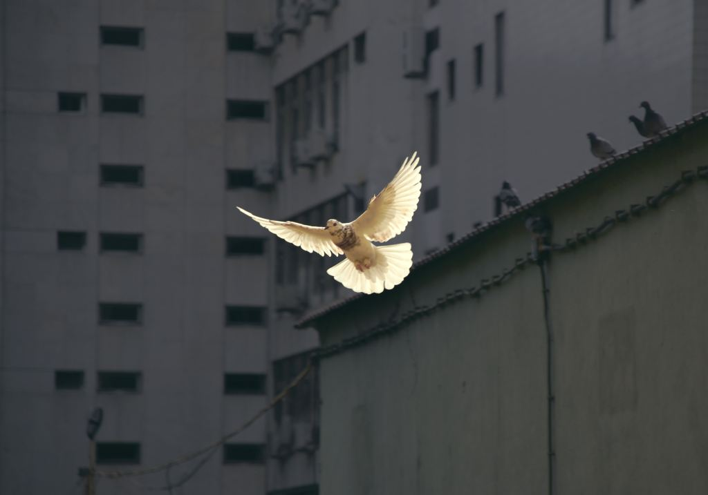 Dove in flight in Lisbon, Portugal