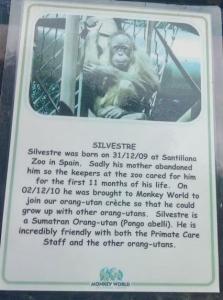 Silvestre orphaned orangutan from Monkey World